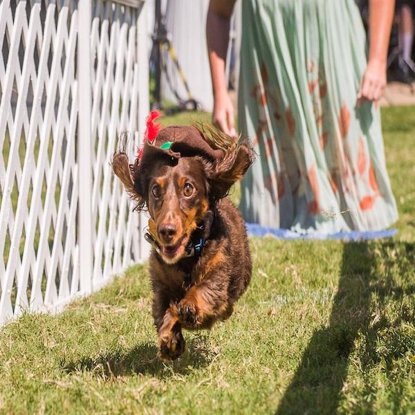 Wiener Dog Races