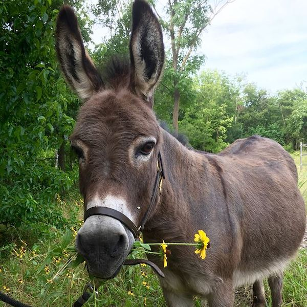 Taco, a miniature donkey at Equest,